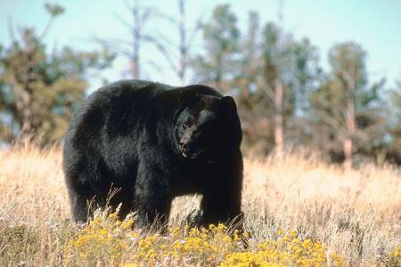 Bear Hunting Mistake