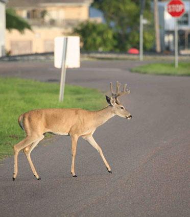 hunting city deer