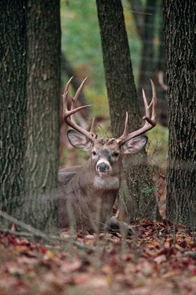 nocturnal deer bucks