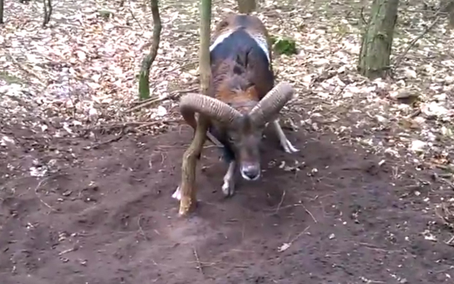 Wild Ram saved by joggers. Scrrengrab courtesy GodVine