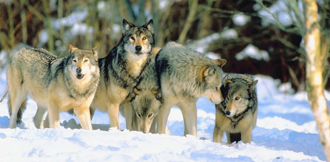 wolf court ruling