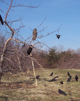 crow hunting