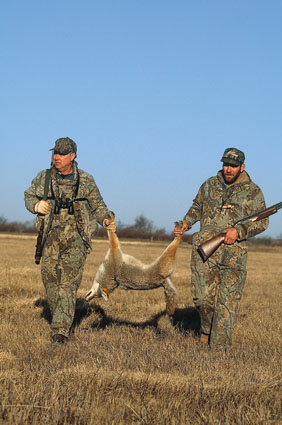 mid day coyote hunting