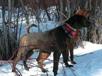 cougar hunting with hounds