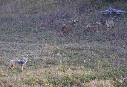 coyote body language