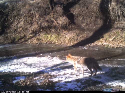 Coyote Stream