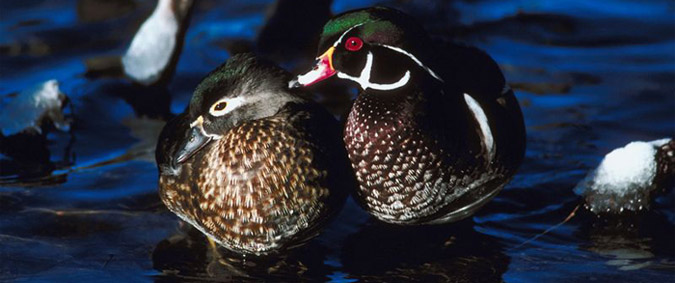 wood duck hunting