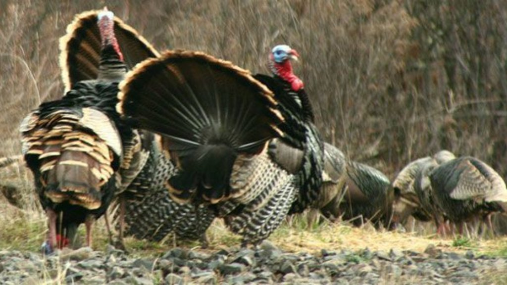 Turkeys are stupid! Don't complicate your turkey hunt