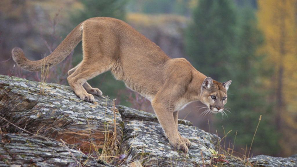 Mom Fights Off Mountain Lion That Attacked Her 5-Year-Old Son