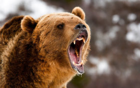 Grizzly Bear Attacks Increase; Bowhunter Kills Sow in Self-Defense