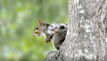 What Are These Terrifying Hairless Tumors on Squirrels?