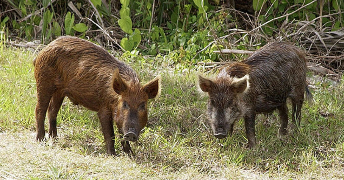 Hog Wars Intensify With $17M in Federal Money for Removal