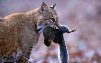 Bobcat proves to be longtime predator hunter's… | Grand View