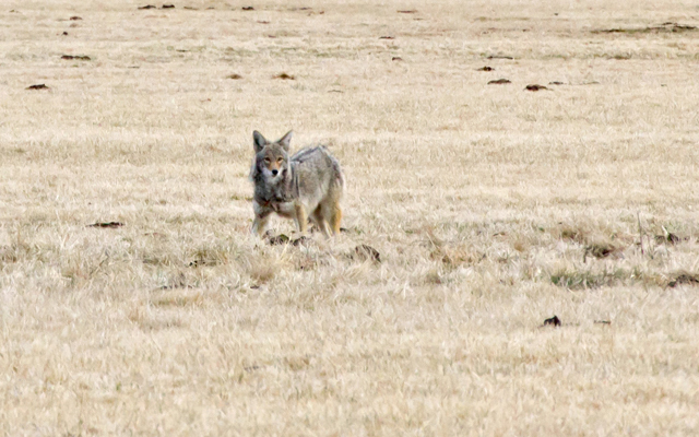 Elderly Woman Saves Dog From Coyote Attack | Grand View ...