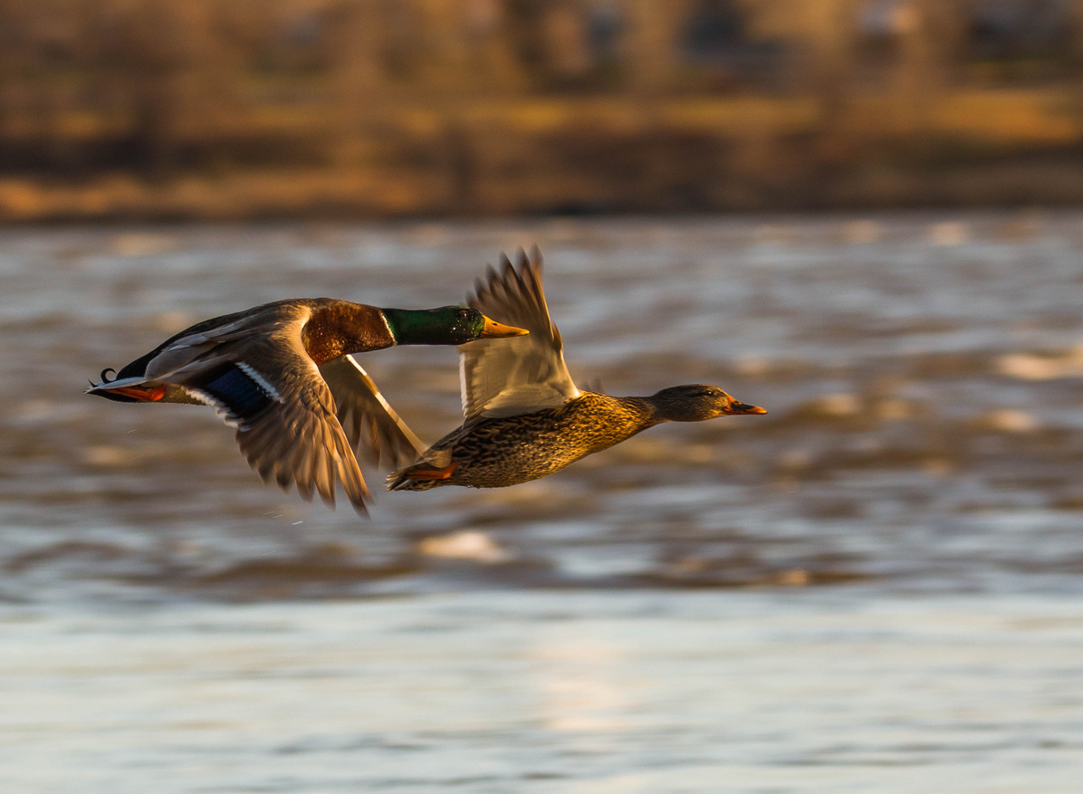Central Region – Waterfowl Migration Reports | Grand View ...