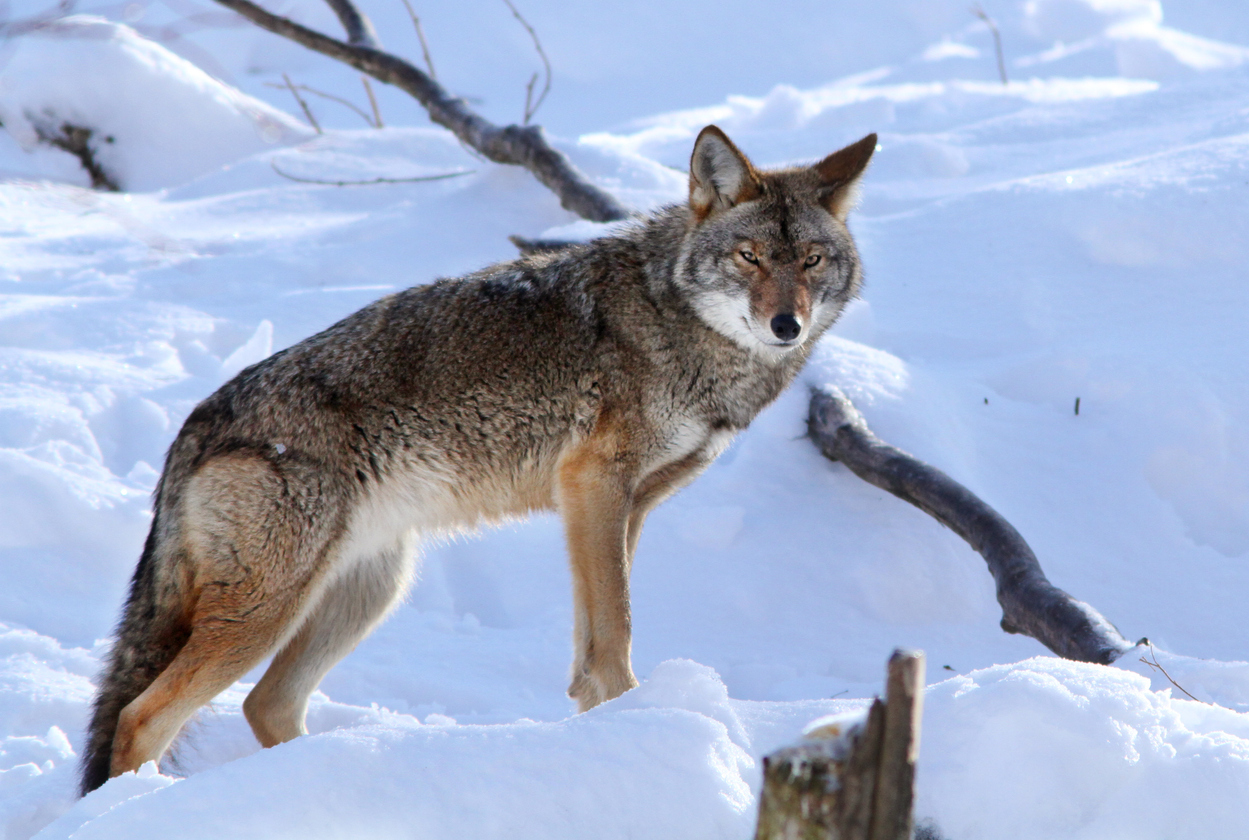 Tips for bagging eastern coyotes | Grand View Outdoors
