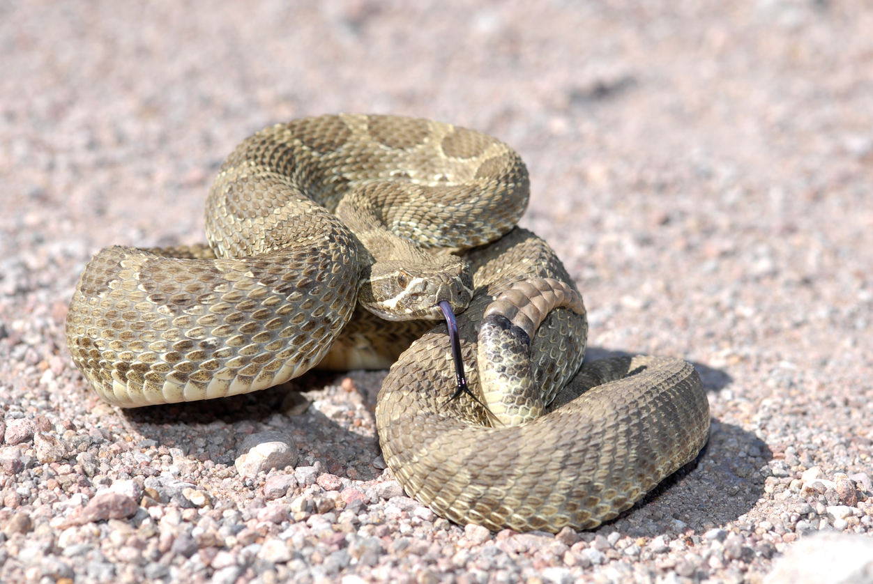 Top 10 Venomous Snakes in North America | Grand View Outdoors