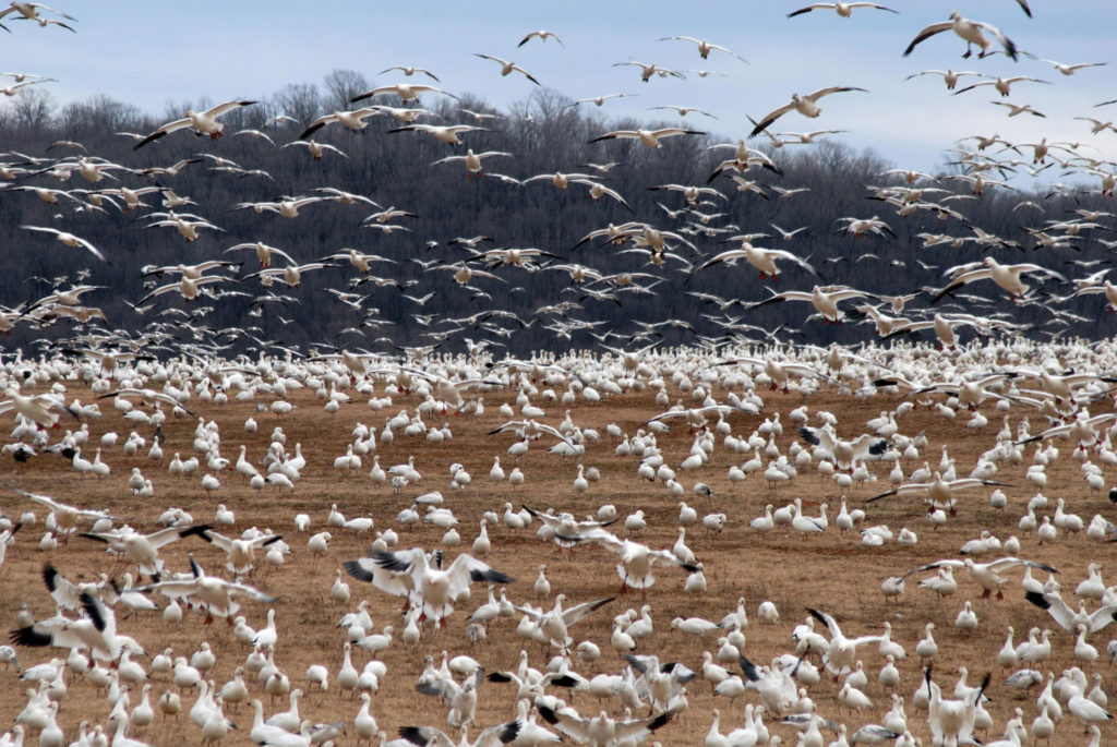 snow goose hunting field