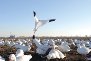 snow goose hunting with decoys