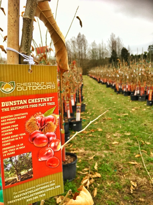 planting food plots with chestnut trees